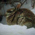 Ashlawn rabbit
